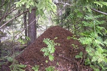 Все про муравьев. Муравейник