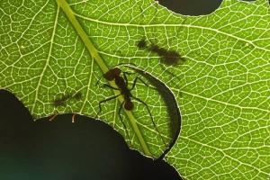 Все про муравьев.Муравьи-земледельцы
