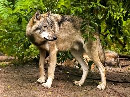 рассказ волки