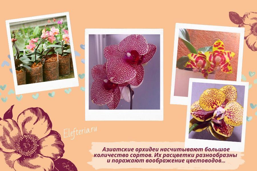 азиатские орхидеи