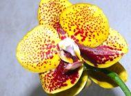 Азиатские орхидеи: как пересаживать и ухаживать. Рубрика «Домашний очаг»