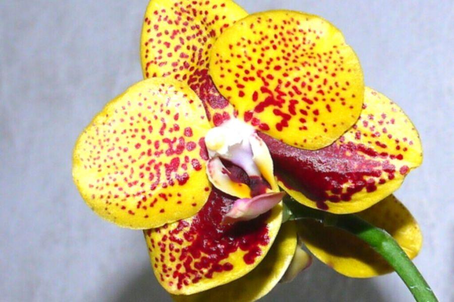 орхидея азиат